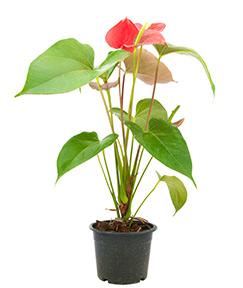 Anthurium - Plants that can make air healthier - AeraMax Pro
