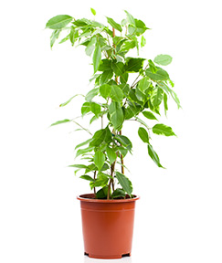 Ficus Tree - A common office plant, removes VOCs